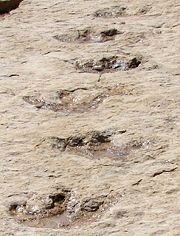 Some of the recently discovered dinosaur footprints